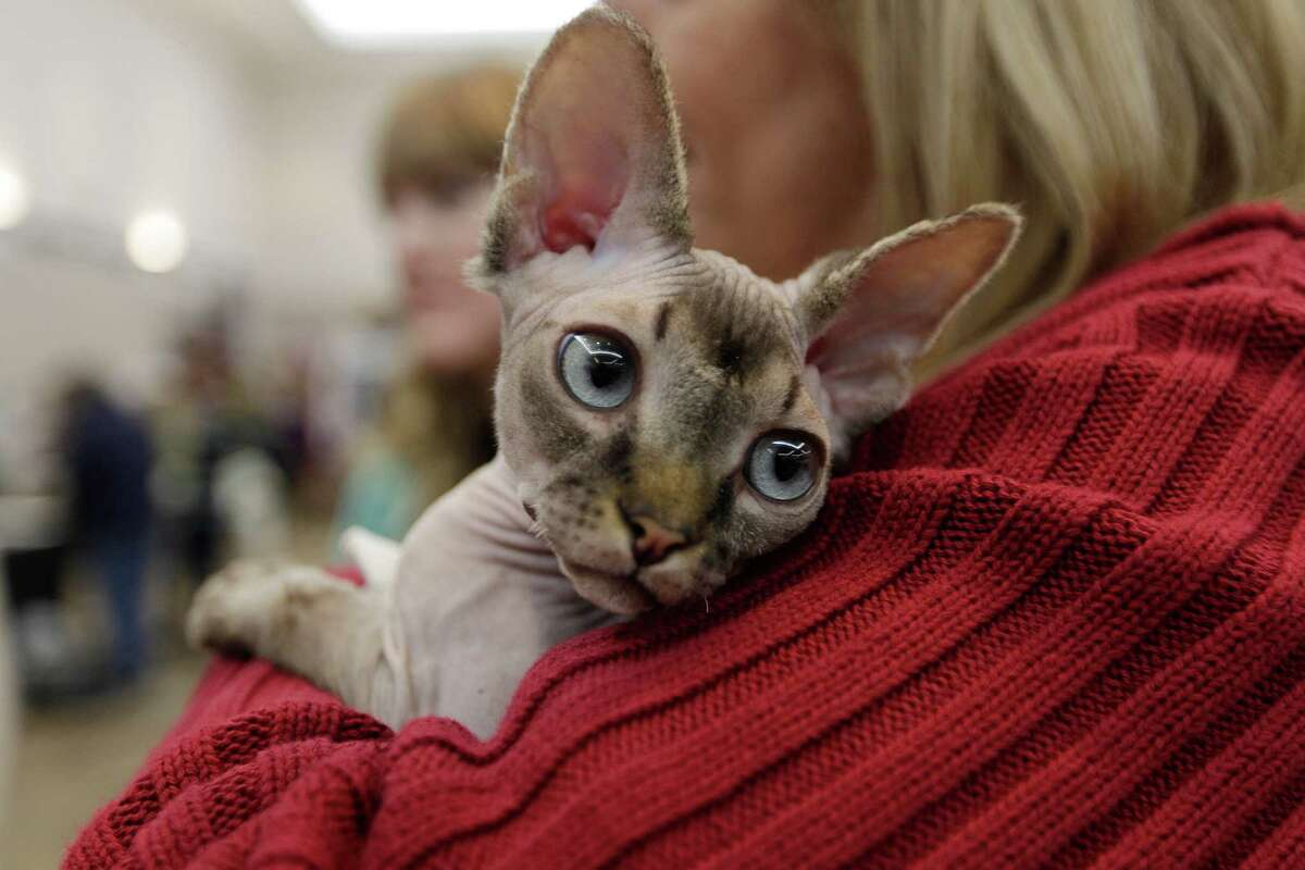 A Sphynx cat is kept warm before competing during the Houston Cat Show moved to Humble Civic Center this year on Saturday, Jan. 10, 2015, in Humble.