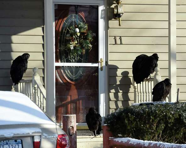 Vultures perch on the front stoop of Patricia House's Willey Street home Wednesday morning, Jan. 7, 2015, in Guilderland, N.Y. (Skip Dickstein/Times Union) Photo: SKIP DICKSTEIN / 00030101A