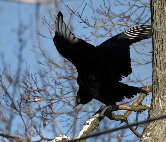 Vultures fly above Patricia House's Willey Street home Wednesday morning, Jan. 7, 2015, in Guilderland, N.Y. (Skip Dickstein/Times Union) Photo: SKIP DICKSTEIN / 00030101A