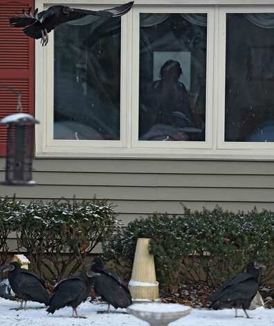Vultures stand in front of Patricia House's Willey Street home Wednesday morning, Jan. 7, 2015, in Guilderland, N.Y. (Skip Dickstein/Times Union) Photo: SKIP DICKSTEIN / 00030101A