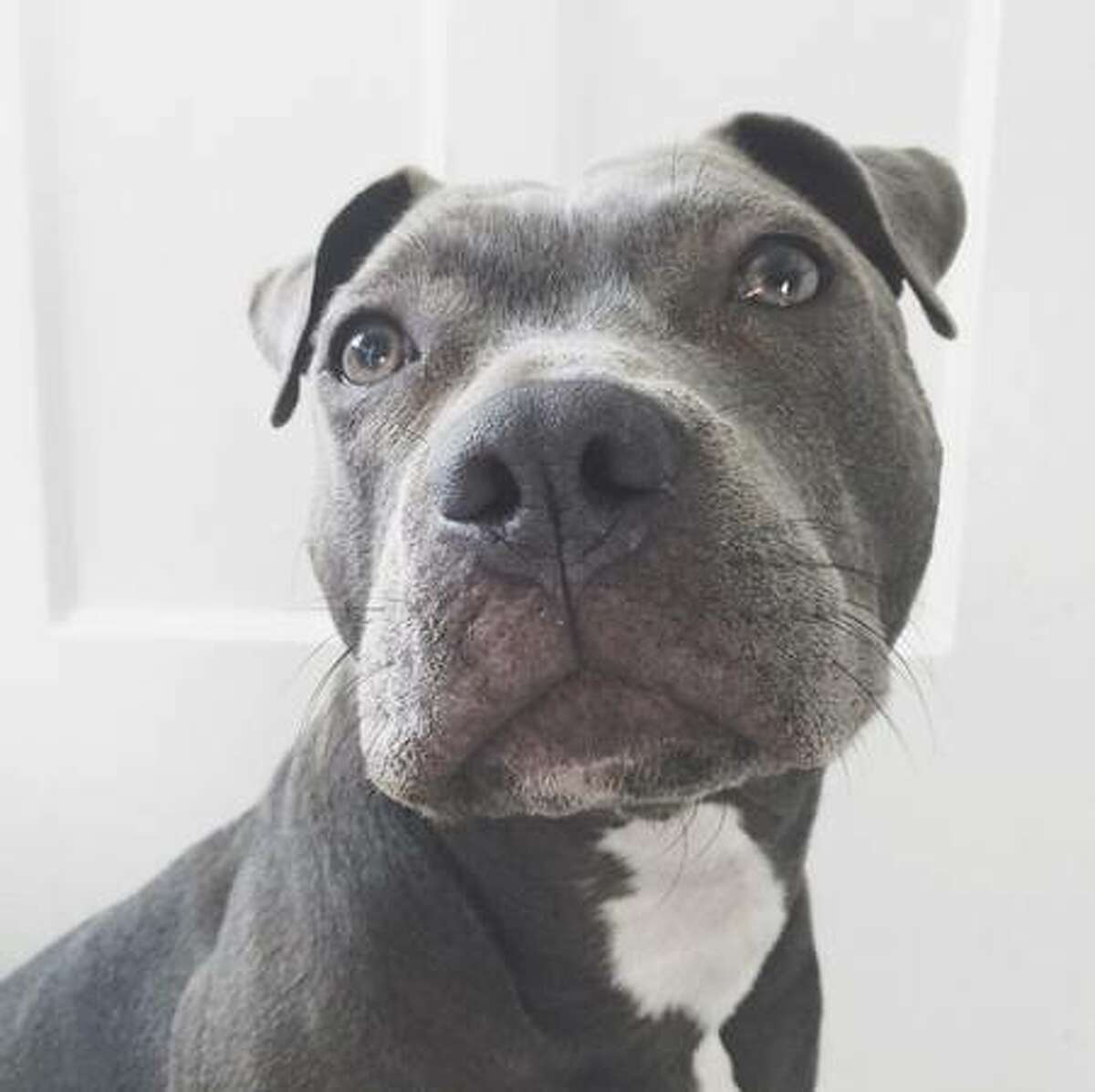 Mochi, a 2-year-old pit bull, was stolen from a South of Market residence Saturday Jan. 10, 2014.