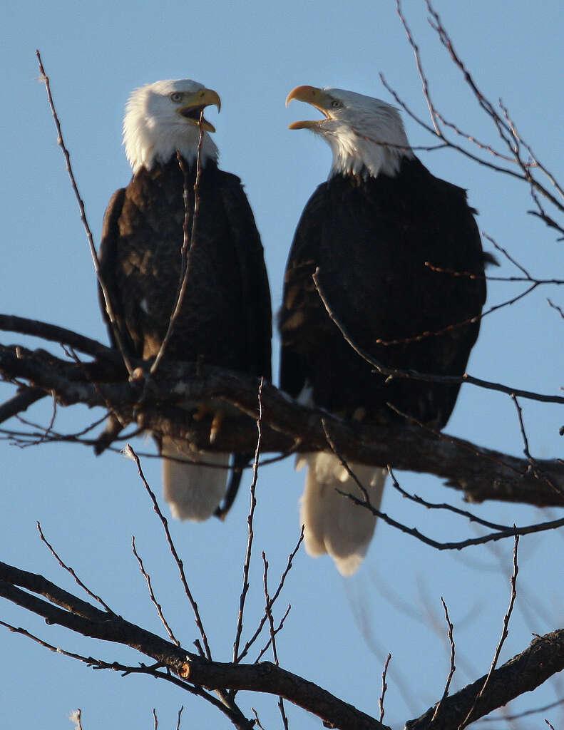 Eagle Nestling