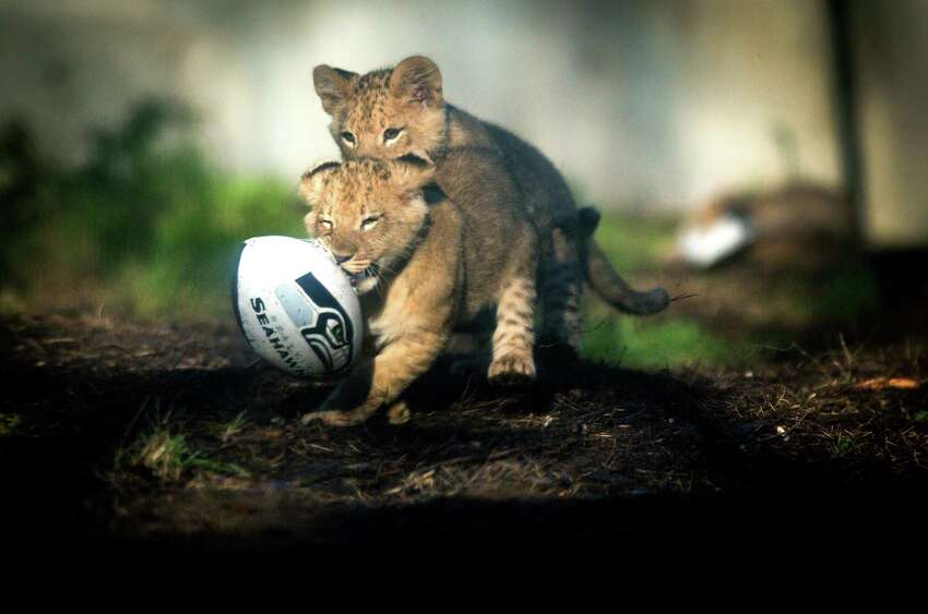 A pair of lion cubs play with a football at Woodland Park Zoo on Wednesday, January 14, 2014 as they do their best impression of Beast Mode. Animals at the zoo were given footballs, 12th Man flags and other Seahawks-related items to play with in their exhibits as the zoo shows its support for the Seattle Seahawks. The lion cubs, born on October 24th, were just recently introduced to their public exhibit.