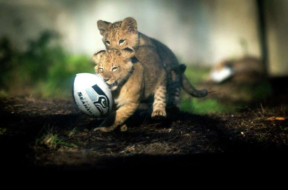 A pair of lion cubs play with a football at Woodland Park Zoo on Wednesday, January 14, 2014 as they do their best impression of Beast Mode. Animals at the zoo were given footballs, 12th Man flags and other Seahawks-related items to play with in their exhibits as the zoo shows its support for the Seattle Seahawks. The lion cubs, born on October 24th, were just recently introduced to their public exhibit. Photo: JOSHUA TRUJILLO, SEATTLEPI.COM / SEATTLEPI.COM