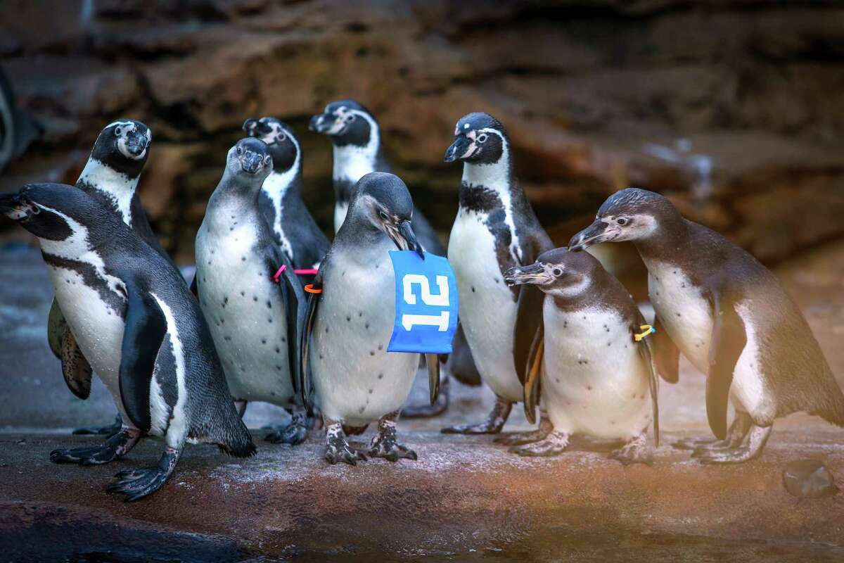 Penguins check out a 12th Man flag in their exhibit as animals are given footballs, flags and other Seahawks-related items as the zoo shows its Seahawks spirit.