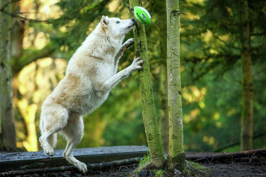 A wolf does it's best Richard Sherman-like leap to knock a football from a tree in its exhibit.