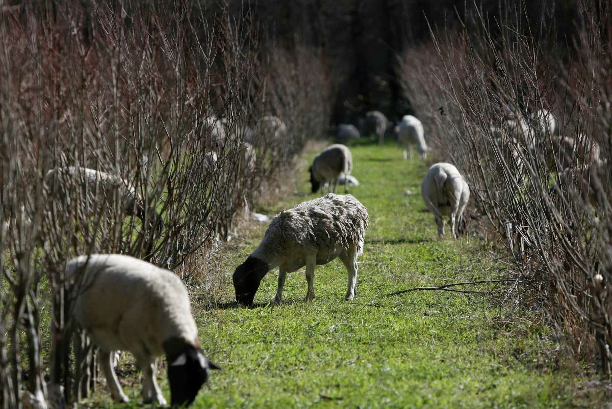 Sheep graze on grass that has sprouted since December's rains in Pescadero. Rural San Mateo County farmers worry that last month's rainy spell won't be enough to sustain them this month.