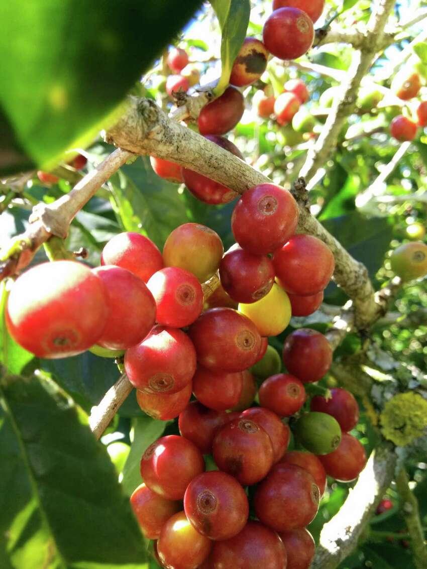 Papaya Nanolot cherries on the tree.