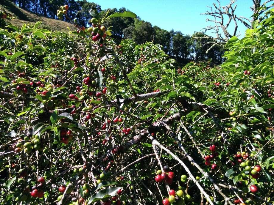 Papaya Nanolot trees. Photo: Courtesy Photos