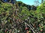 Papaya Nanolot trees.