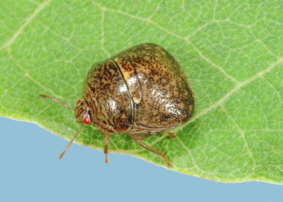 An adult kudzu bug perches on a leaf. The insect isn't just a pest, it's damaging to soybean crops. Photo: Blake Layton /Associated Press / Mississippi State University
