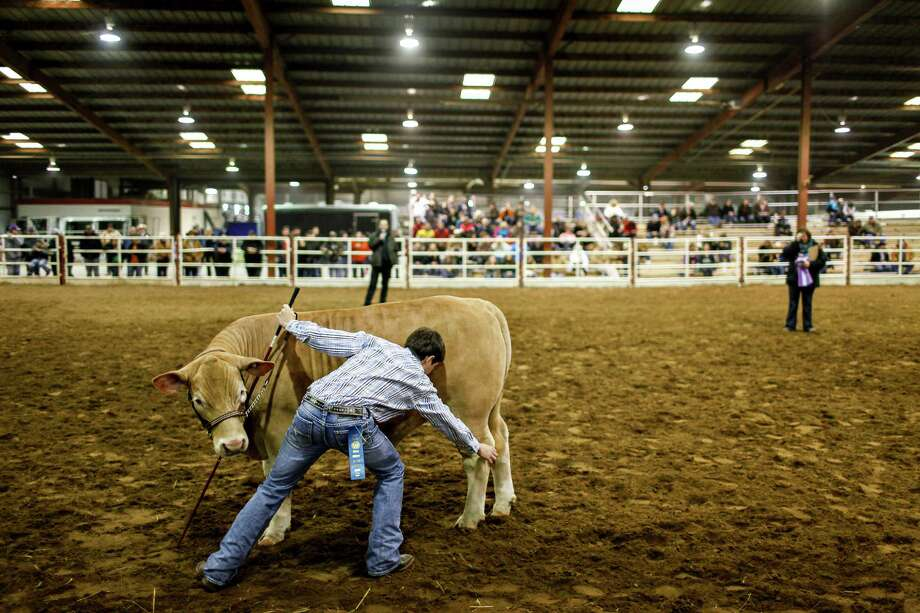 Senior Jared Mullinix adjusts the stance of his steer, Thor, in the competition ring at the Bexar County Junior Stock Show last month. The steer has won multiple honors in Texas competitions. Photo: Photos By Spencer Selvidge / For The San Antonio Express-News / Copyright 2014, Spencer Selvidge for the San Antonio Express-News