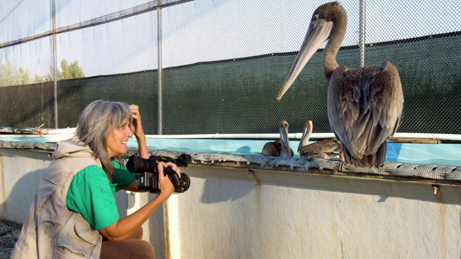 "Filmmaker Judy Irving films a scene wtih Gigi, a brown pelican picked up from San Francisco's Golden Gate Bridge in 2008. Gigi, and other pelicans, became the focus of Irving's 2014 film ""Pelican Dreams,"" which will be shown on Wednesday, Feb. 4, 2015, at the Avon Theatre in Stamford, Conn. Photo: Contributed Photo / Stamford Advocate Contributed photo"