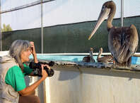 "Filmmaker Judy Irving films a scene wtih Gigi, a brown pelican picked up from San Francisco's Golden Gate Bridge in 2008. Gigi, and other pelicans, became the focus of Irving's 2014 film ""Pelican Dreams,"" which will be shown on Wednesday, Feb. 4, 2015, at the Avon Theatre in Stamford, Conn."