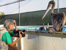 """Filmmaker Judy Irving films a scene wtih Gigi, a brown pelican picked up from San Francisco's Golden Gate Bridge in 2008. Gigi, and other pelicans, became the focus of Irving's 2014 film """"Pelican Dreams,"""" which will be shown on Wednesday, Feb. 4, 2015, at the Avon Theatre in Stamford, Conn."""