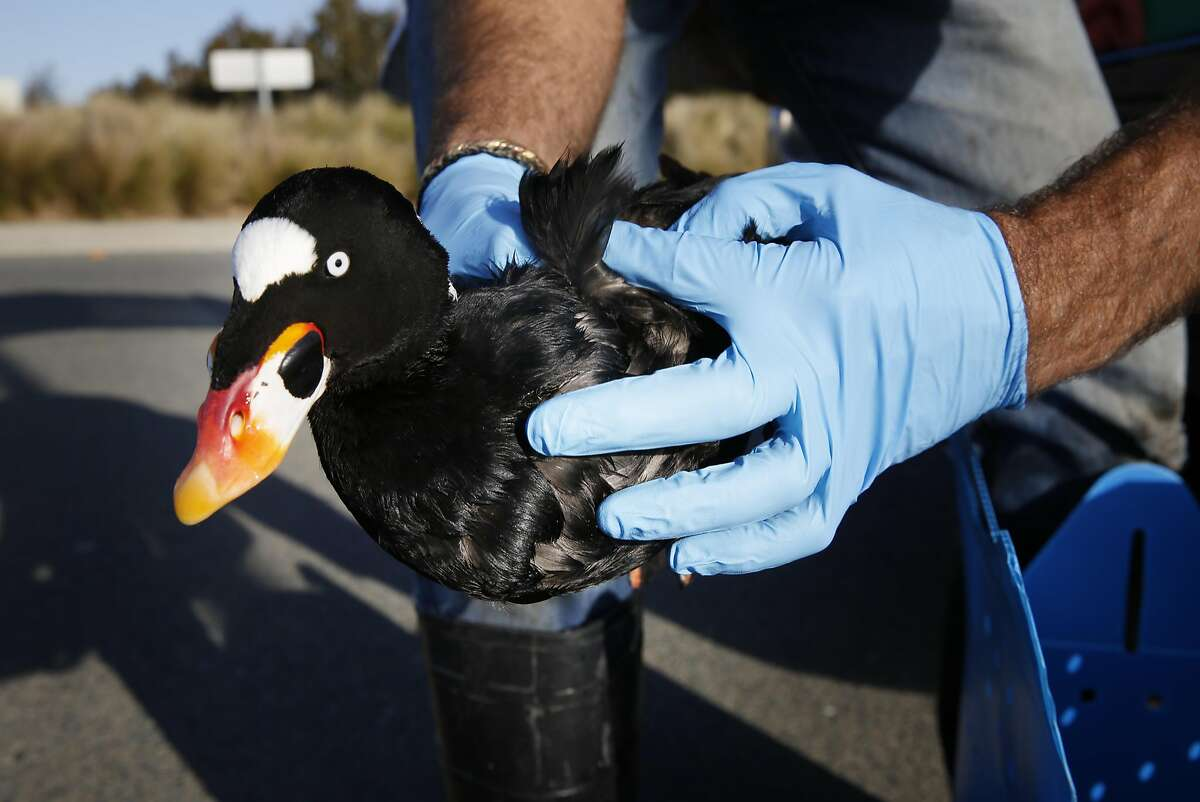 Mark Russell with International Bird rescue rescue secures a live surf scoter affected by mysterious substance on Monday January 19, 2015 in Alameda, Calif. Recently a rash of birds deaths have been caused by substance.