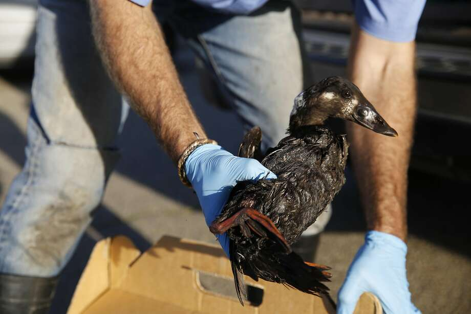 Mark Russell with International Bird rescue rescue  secures a live sea duck that has been greatly affected by a mysterious substance on Monday January 19, 2015 in Alameda, Calif. Recently a rash of birds deaths have been caused by substance. Photo: Mike Kepka, The Chronicle