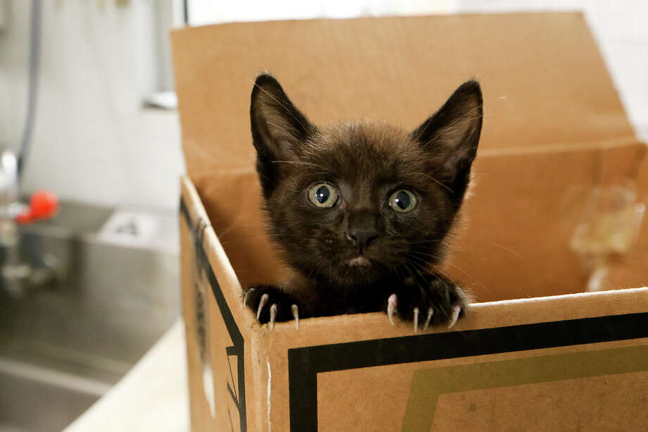 An injured  kitten       peeks out of a box at a San Antonio animal hospital. ACS is joining the Million Cat Challenge effort. Photo: Marvin Pfeiffer / Express-News / Express-News 2014