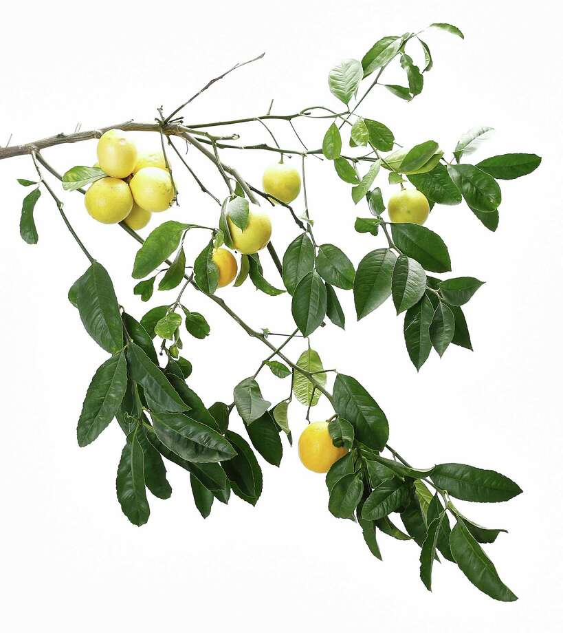 Meyer lemons are easy to grow in containers or small plots. Photo: Russell Yip / The Chronicle / ONLINE_YES