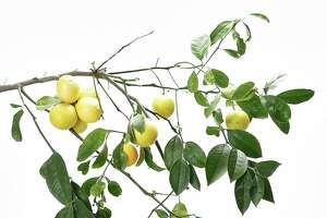 Read this cheat sheet before planting a Meyer lemon - Photo