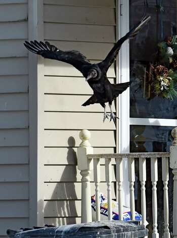 A turkey vultures launches from the front porch at 11 Willey Street Tuesday morning Jan. 20, 2015 in Gulderland, N.Y.     (Skip Dickstein/Times Union) Photo: SKIP DICKSTEIN / 00030276A