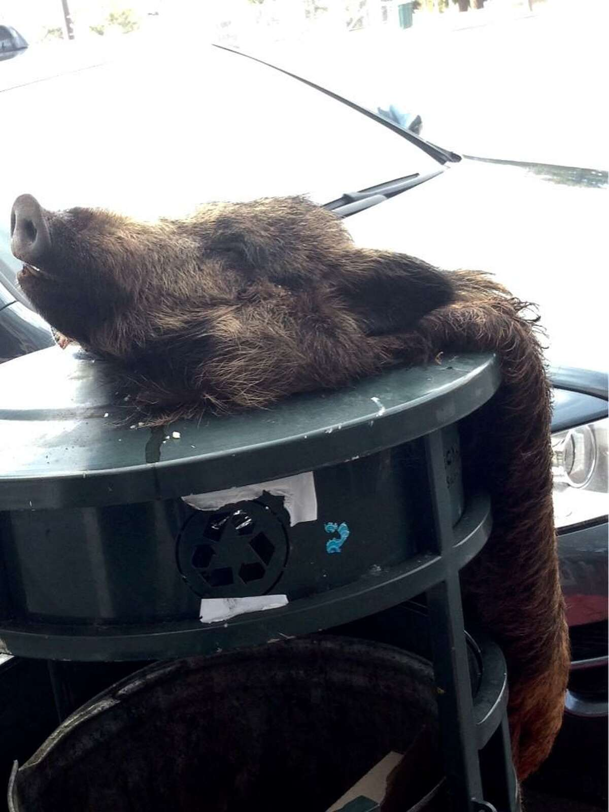 A skinned boar was found in Berkeley on the morning of Monday, Jan. 19, 2014, near a vegetarian restaurant on Adeline Street. Another such discovery was made the same morning on Shattuck Avenue near Herbivore, a downtown vegan restaurant.