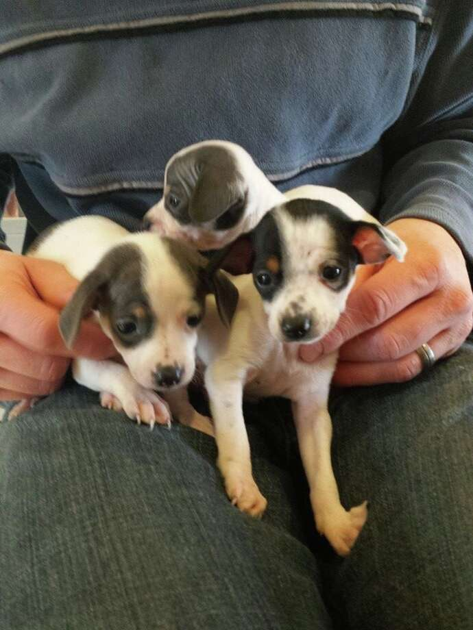 Three terrier puppies, abandoned in a trash bag in an East Bay park in January, will soon go up for adoption. Photo: Courtesy / Contra Costa Animal Services / ONLINE_YES