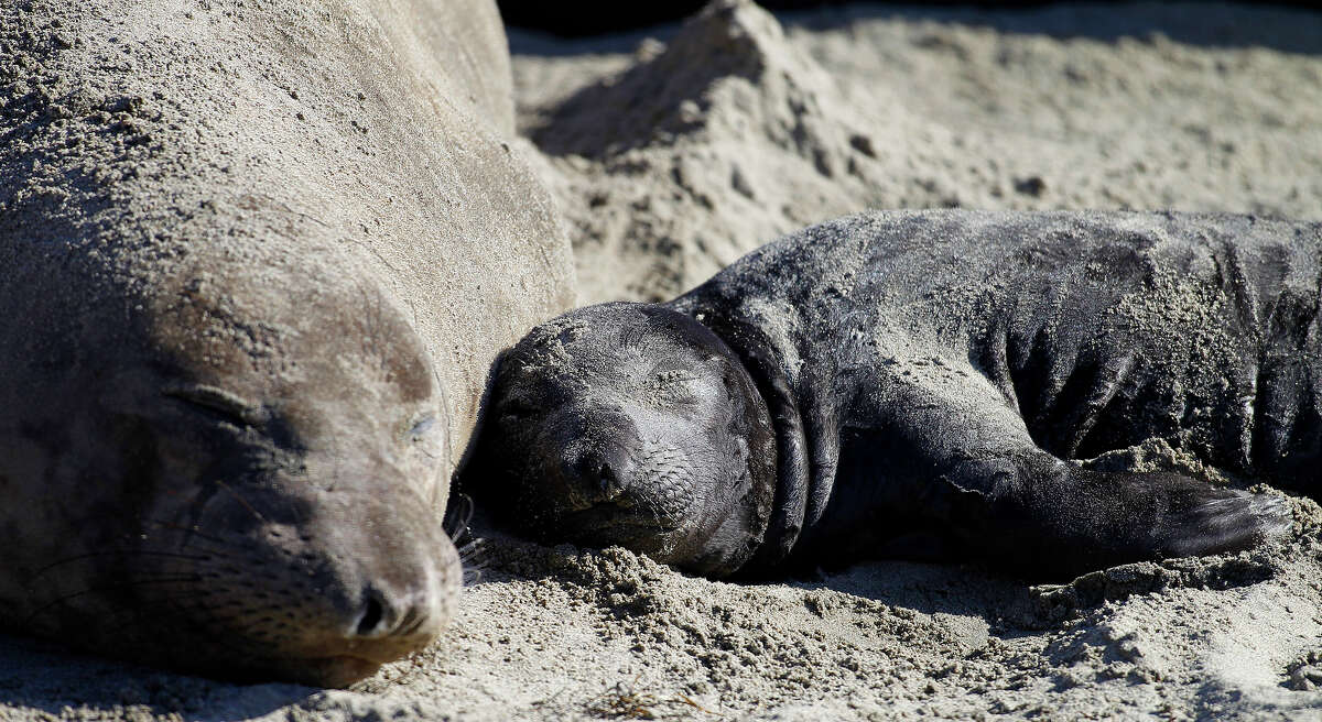 In this Jan. 7, 2015 photo, a northern elephant seal pup rests with its mother along a beach at Ano Nuevo State Park in Pescadero, Calif. Researchers tracking elephant seals off the Northern California coast say they have discovered the animals travel much farther than once thought. Male elephant seals spend much of their time in the northern Pacific. Females tend to hunt in the northeast Pacific. They return to Ano Nuevo in San Mateo County and other spots on the California coast each winter to breed. (AP Photo/Bay Area News Group, Aric Crabb)