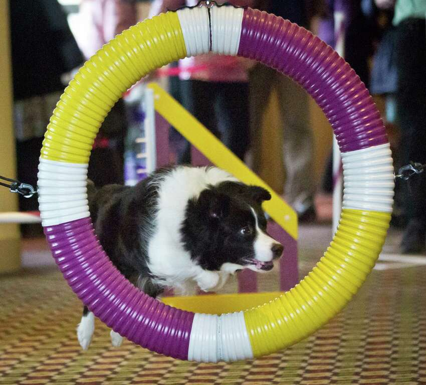 Lynus, a Border Collie owned by Authur and Janyce Selkin, from Rhinebeck, N.Y. , jumps through a hoop during a press preview for the 139th Annual Westminster Kennel Club Dog Show, Wednesday, Jan. 21, 2015, in New York. Lynus will compete in the 2nd Annual Masters Agility Championship at Westminster Feb. 16-17.
