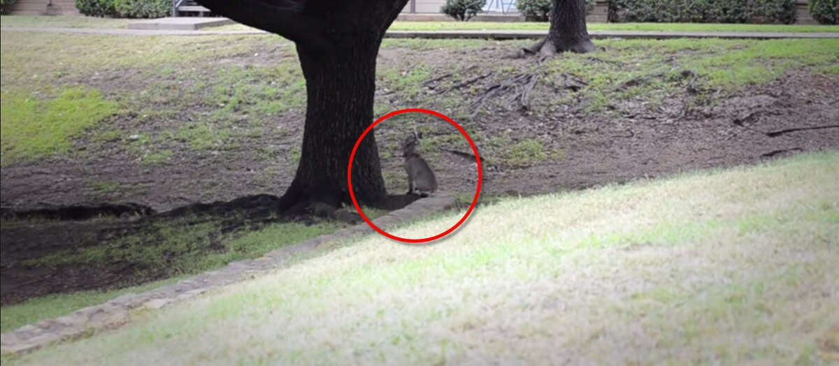 In less than a span of a second, an urban bobcat near a Dallas-area apartment jumps from a seated position into a tree, snatches a squirrel and returns to the ground for a perfect landing.