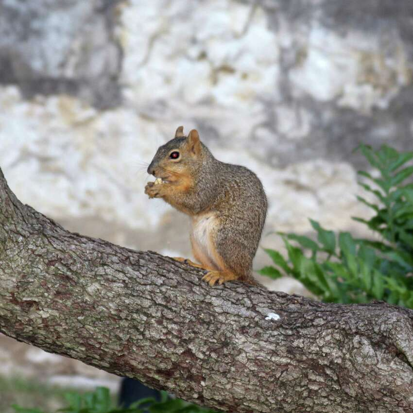 This squirrel was enjoying spring break in a tree just south of the Alamo on April 1, 2013.