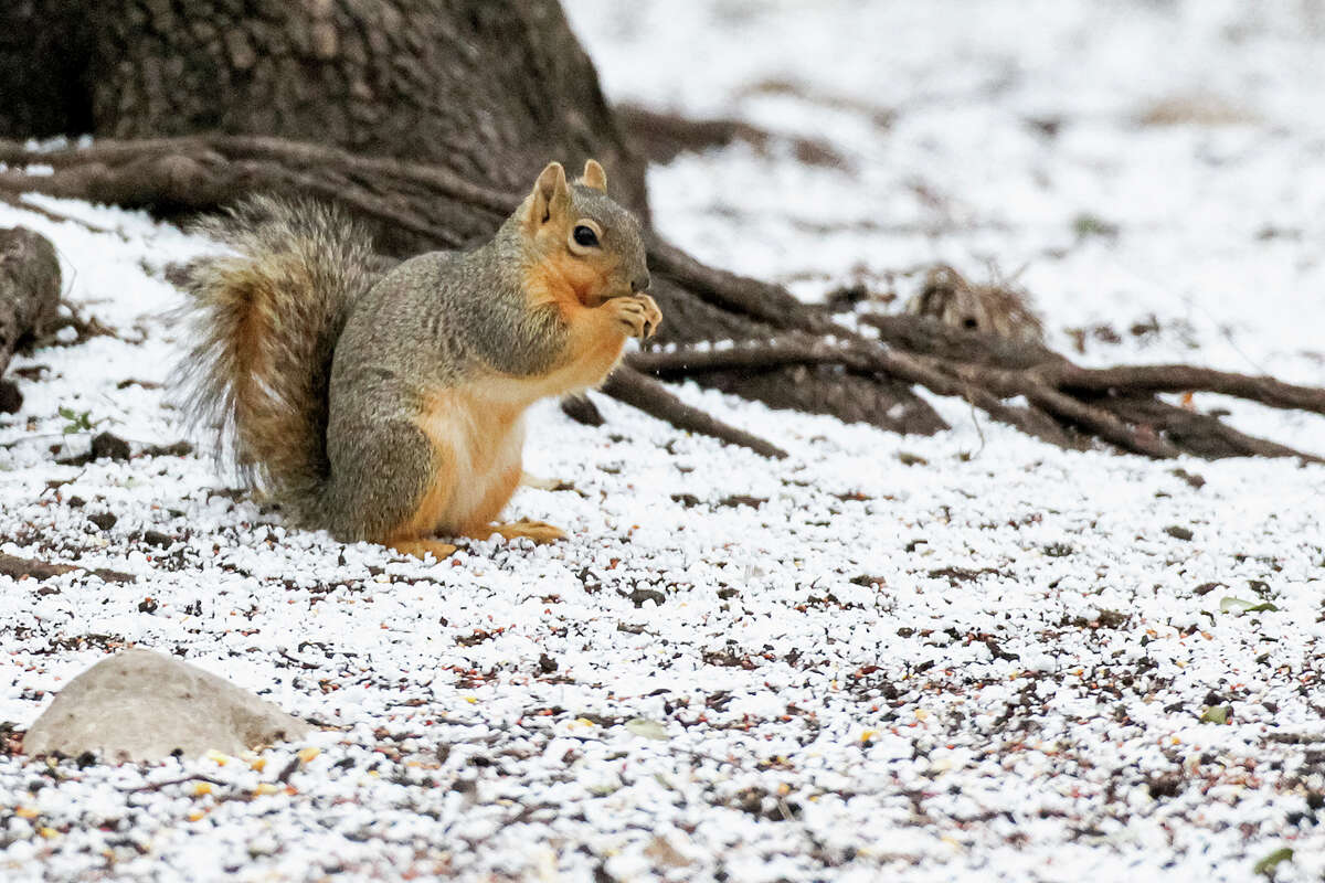 A squirrel looks for food in the snow in Shavano Park on Thursday morning, Feb. 6, 2014.
