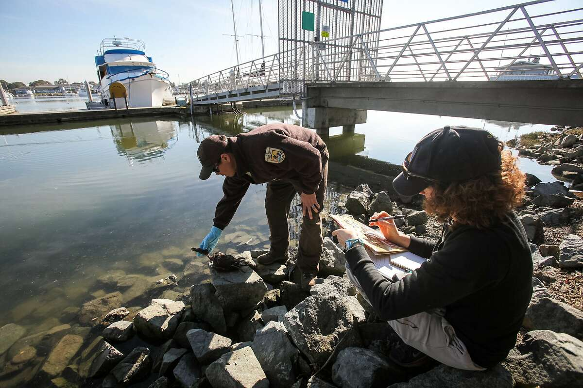 Wildlife department workers Kevin Aceituno (left) and Beckye Stanton investigate a dead bird near Mulford Point, Wednesday, Jan. 21, 2015, in San Leandro, Calif.