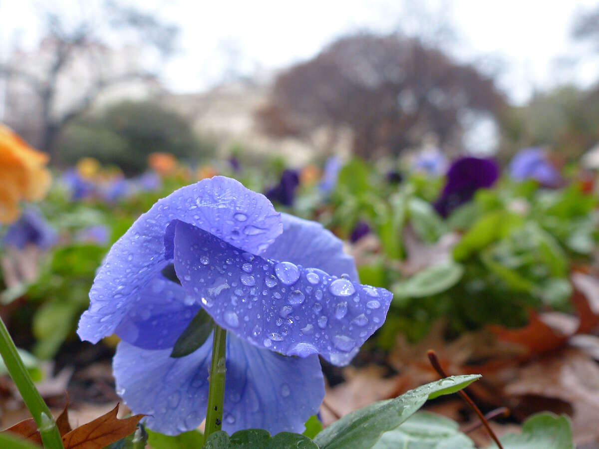 Flowers sprinkled by the rain adorn the grounds at First Presbyterian Church in downtown San Antonio on Wednesday, Jan. 22, 2015.