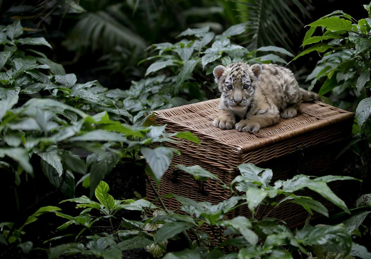 WHAT IF THEY HELD A PICNIC AND NOBODY CAME? Little Alisha sits alone on her basket as she makes her public debut at Berlin's Tierpark Zoo. The Amur tiger cub is the only surviving member of a brood of three born in December. Her two siblings died because their mother, Aurora, could not produce enough milk. The zoo has been feeding Alisha by hand.