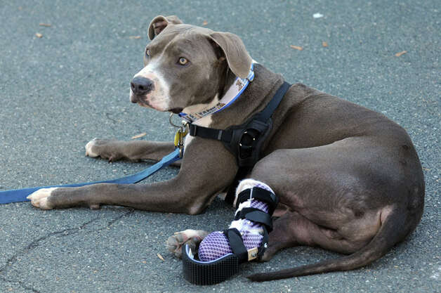 "Hudson with his new prosthetic paw at the Mohawk Hudson Humane Society on Saturday Oct. 12, 2013 in Menands, N.Y. Derrick Campana of Animal Orthocare, right, LLC of Virginia fits Hudson, center, with his newest prosthetic paw. Dr. Tom Bowersox a board certified veterinary surgeon who has worked with the ""railroad puppies"" over the past year, contacted Animal Orthocare to see if they could provide a new prosthetic and help Hudson adjust to a new ""adult"" size paw. Campana showed  Dr. Bowersox and owner Richard Nash how to work with Hudson to help walk and run with the new paw and to help him strengthens and straighten his ""good"" leg. (Michael P. Farrell/Times Union) Photo: Compiled By 518Life / 00024251A"