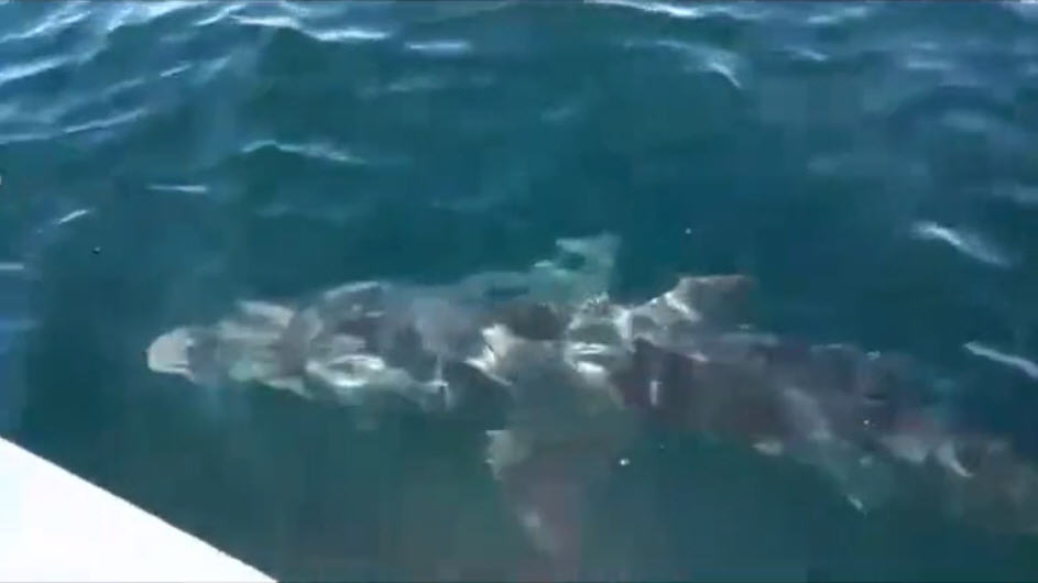 Great white shark attacks gulf fishing boat houston for Houston fishing charters