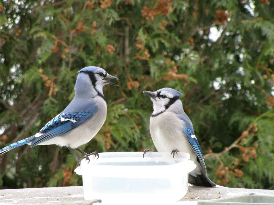 """Two Eastern blue jays enjoy some fresh water on a bitter cold day Karen Casey's Bethlehem backyard. She says providing water is just as important as providing seed and suet ? and plastic take-out containers work great. """"If frozen, the ice pops out easily, wash and refill,"""" she said. """"The birds will be grateful."""" She must be doing something right: at least 15 to 20 show up every morning. (Karen Casey, Bethlehem)"""