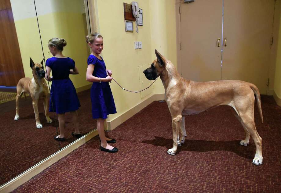 """Emma Rogers, 11, from Columbus, New Jersey, and Great Dane """"Joy"""" attend the 139th Annual Westminster Kennel Club Dog Show press conference on January 21, 2015, to promote the two new breeds for the 139th Annual Westminster Kennel Club Dog Show, the 2nd Annual Masters Agility Championships and the Meet the Breeds event.   AFP PHOTO /  TIMOTHY  A. CLARYTIMOTHY A. CLARY/AFP/Getty Images Photo: TIMOTHY A. CLARY, Staff / AFP"""