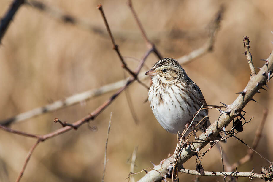 Savannah sparrows are the most common winter sparrows at area wildlife refuges. Photo: Kathy Adams Clark / Kathy Adams Clark/KAC Productions