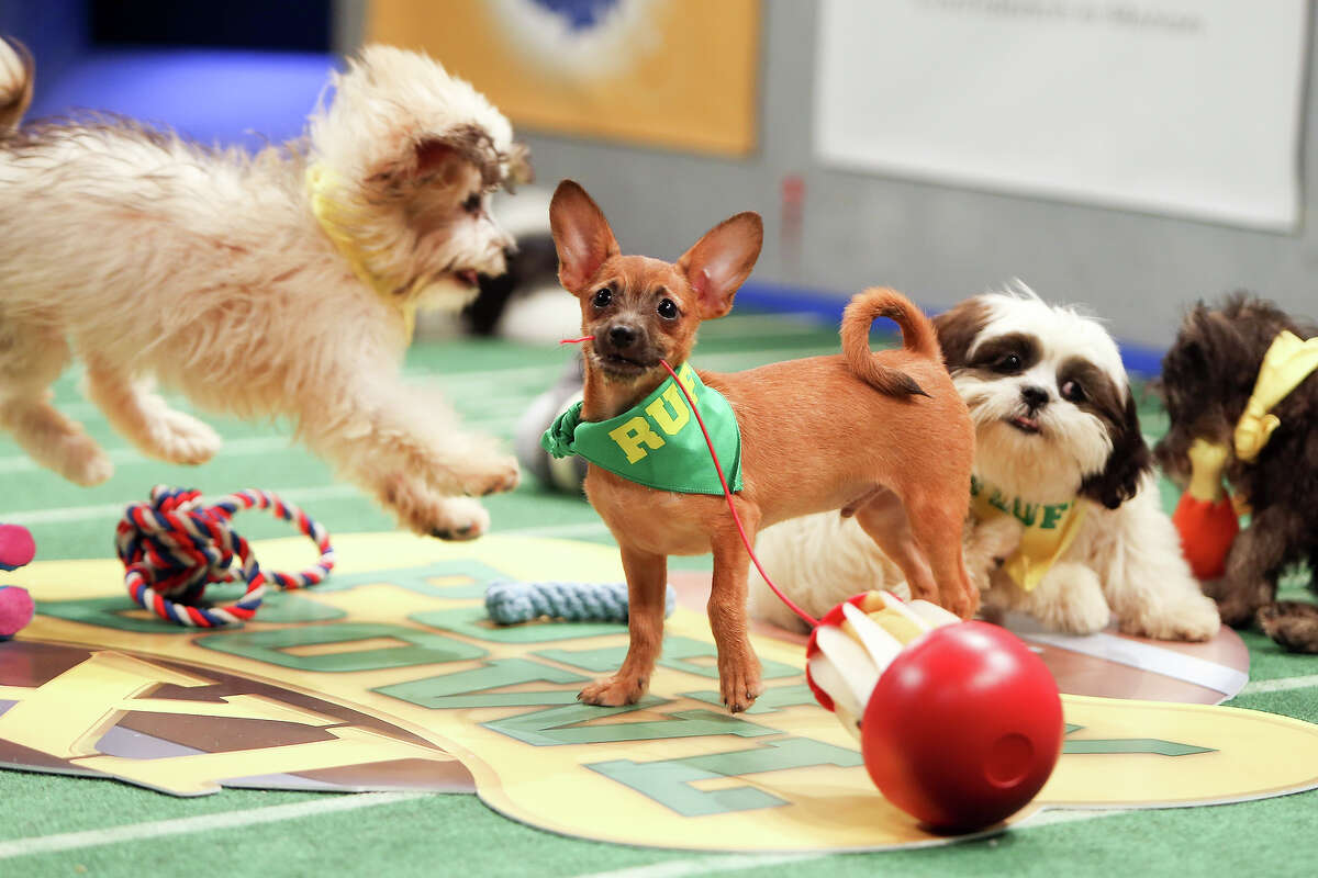 Teams Ruff and Fluff compete on the field during Puppy Bowl XI.Click through the photos above to see all the furry competitors and a few sneak-preview images of Puppy Bowl XI.