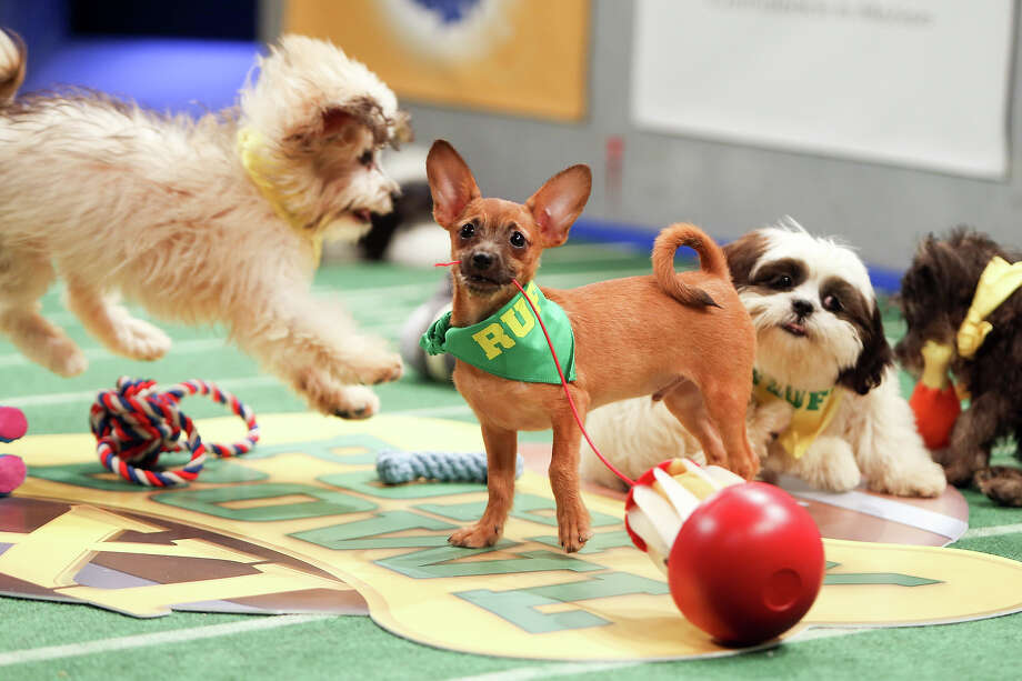 Teams Ruff and Fluff compete on the field during Puppy Bowl XI.Click through the photos above to see all the furry competitors and a few sneak-preview images of Puppy Bowl XI. Photo: Damian Strohmeyer, Damian Strohmeyer/Animal Planet / Discovery Communications, Inc.