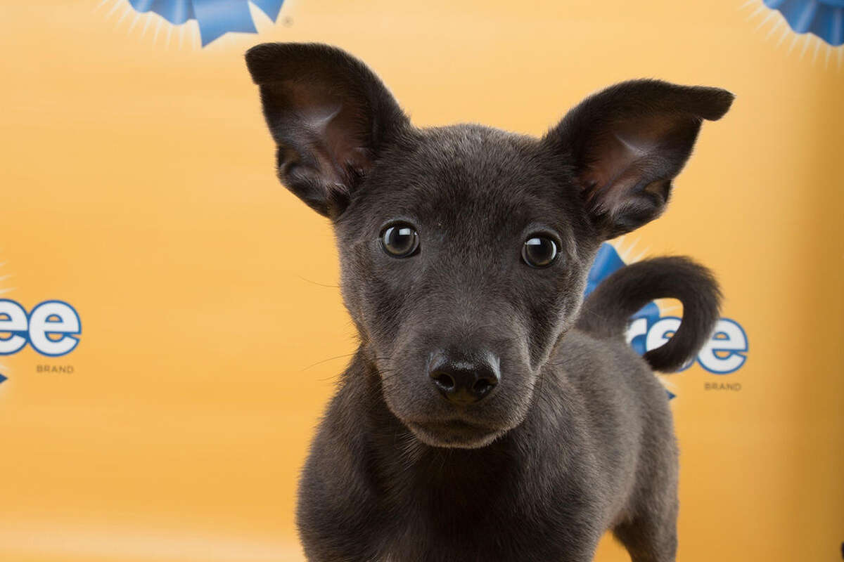 Get ready folks, it's almost time for Animal Planet's Puppy Bowl XI, airing Super Bowl Sunday at 3 p.m. Meet the furry competitors in this slideshow! Above: Graham, Labrador retriever mix, Team Ruff Dogs aren't your thing? Check out a preview of Kitten Bowl II