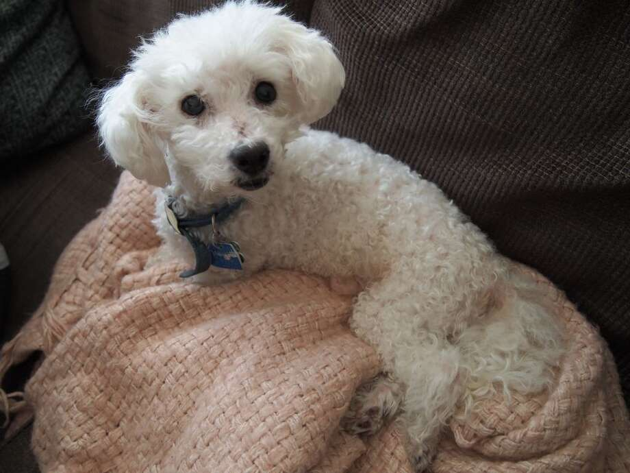 """Curdie was a bichon frisé, loosely translated, """"the greatest of all dog breeds"""" in French. Photo: Leah Binkovitz"""