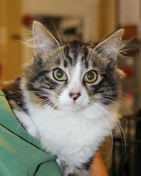 Nicholas is a handsome three-month-old mixed domestic longhair who is warming up quickly to his surroundings. He tosses and drags around his favorite toy that looks like a snake. He will grow into a large cat perfectly suited to your lap. Photo: Courtesy Photo / Courtesy Photo