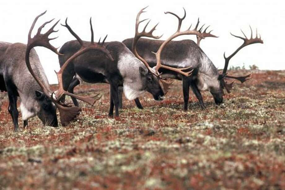 "The calving ground for the giant Porcupine Caribou Herd is on the Coastal Plain of the Arctic National Wildlife Range.  Oil companies and Alaska politicians want to drill there. The Obama administration wants the plain preserved as wilderness. Ex-President George H.W. Bush, promoting drilling, once said: ""There are more caribou in Alaska than you can shake a stick at."""