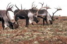 """The calving ground for the giant Porcupine Caribou Herd is on the Coastal Plain of the Arctic National Wildlife Range. Oil companies and Alaska politicians want to drill there. The Obama administration wants the plain preserved as wilderness. Ex-President George H.W. Bush, promoting drilling, once said: """"There are more caribou in Alaska than you can shake a stick at."""""""