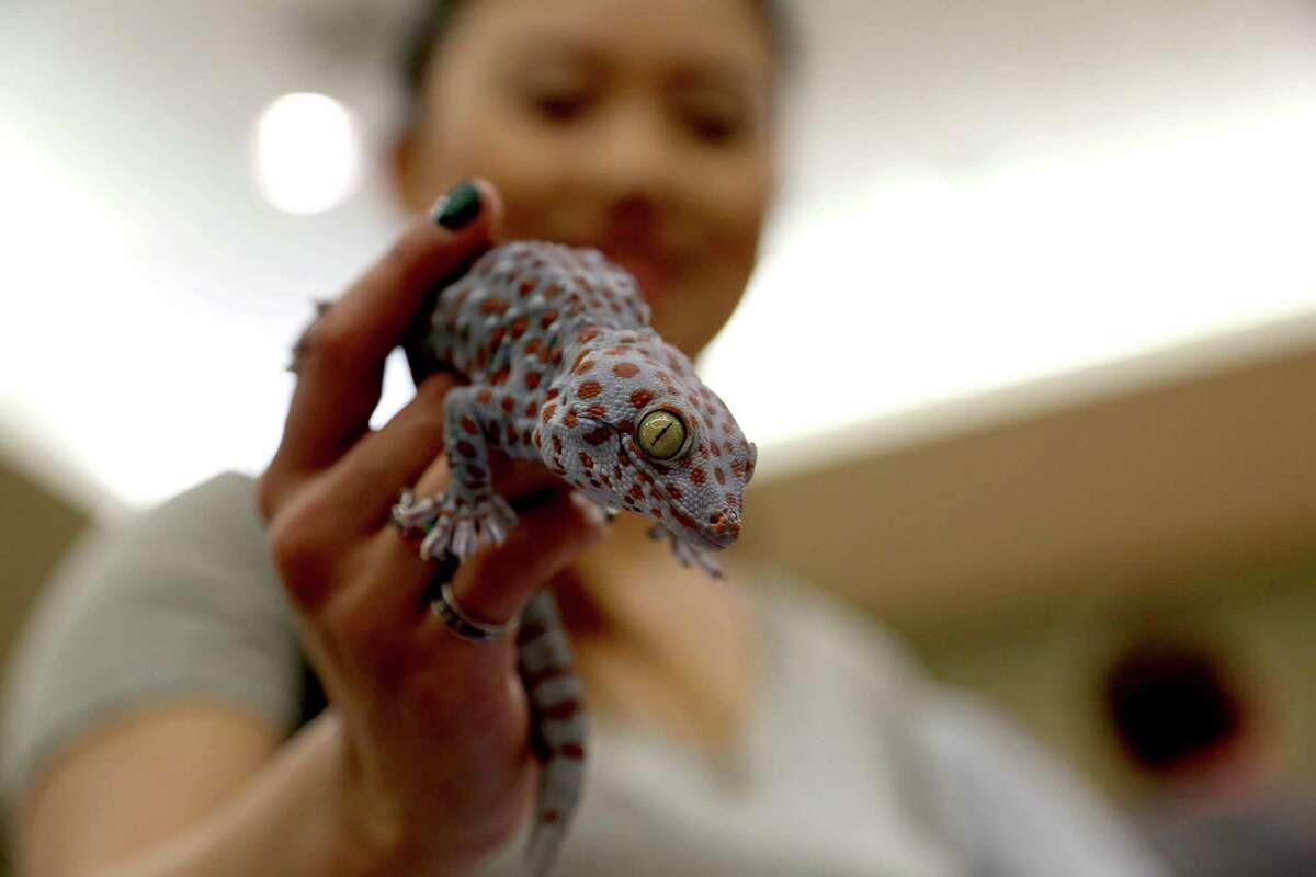Nicky Cubides, of Tomball, with a Tokay Gecko at the Houston Exotic Reptile and Pet Show hosted by the Texas Association of Reptile Keepers at the Lone Star Convention and Expo Center Sunday, Jan. 25, 2015, in Conroe, Texas.