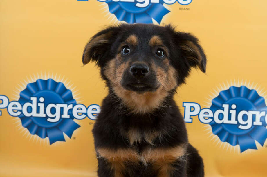 Here's Zane from 2015's Puppy Bowl XI on Animal Planet. The corgi mix was a starter for Team Ruff. Photo: Keith Barraclough /DCL