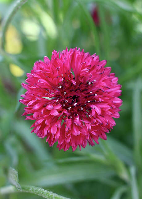 Centaurea cyanus 'Red Boy' is a newcomer to the cornflower genus, a.k.a., bachelor's button. Photo: Annie's Annuals And Perennials / ONLINE_YES